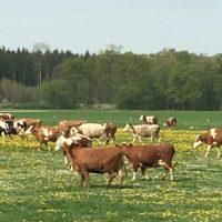 Bekommen Kühe Sonnenbrand?