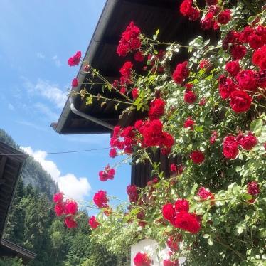 Traumkulisse mit Sommerrosen