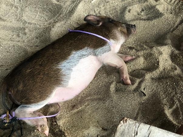 Pad Thai, ein Minischwein